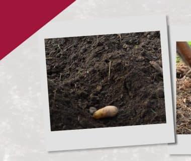 Planter ses pommes de terre primeurs (5/12) 1