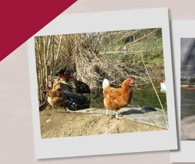 Élever des poules et conserver les œufs (6/12) 1