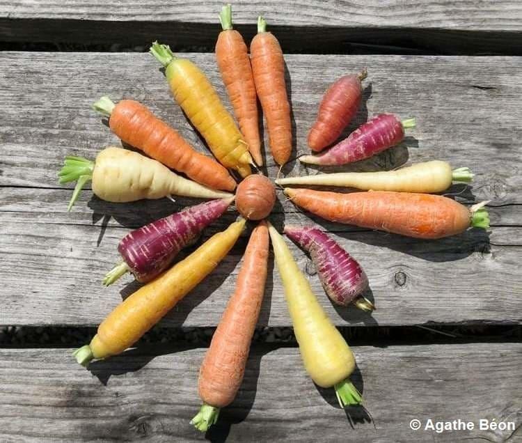 Différentes variétés de carottes réunies en cercle