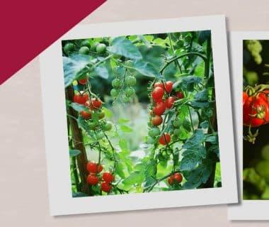 Récolter des tomates de juillet à décembre (7/12)