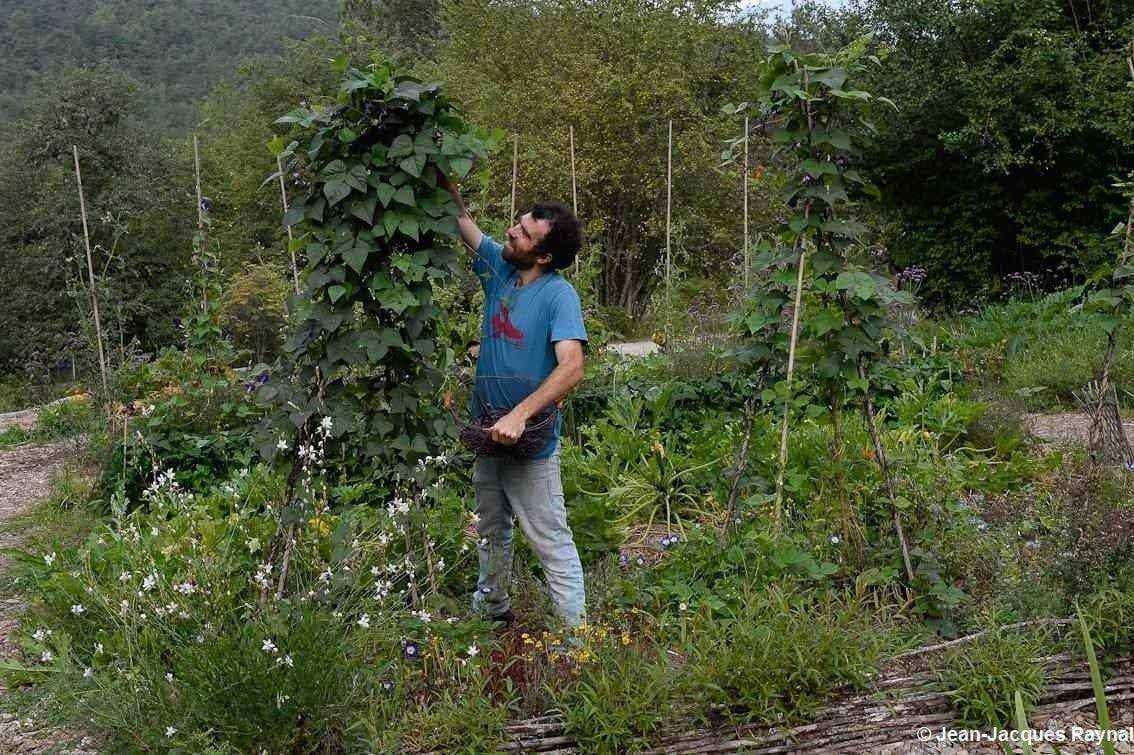 Cultiver des haricots verts et à rames