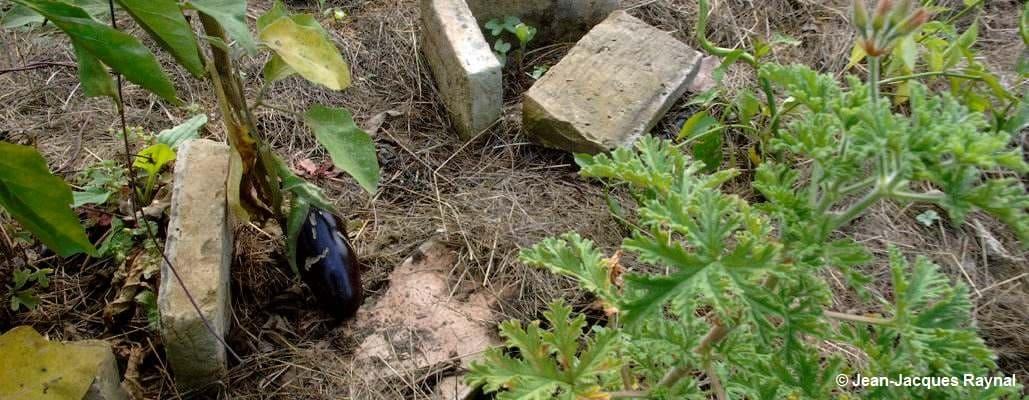 Une aubergine au sol dans le potager