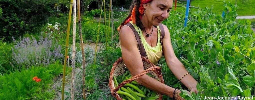 La récolte des petits pois par la jardinière, avec son panier au bras