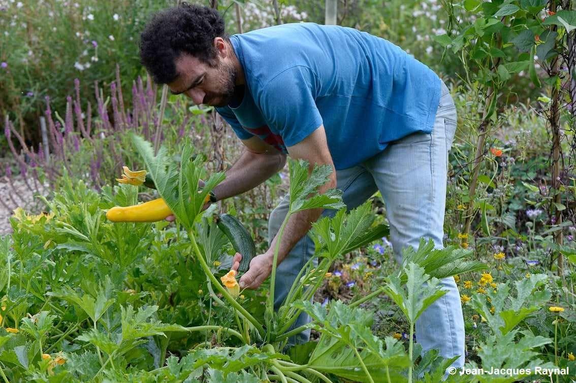 Récolte de la courgette par le jardinier au potager