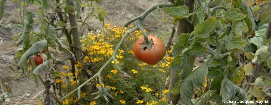 Une petite tomate accrochée à une branche et quelques fleurs jaunes en second plan