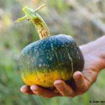 Buttercup, courge verte et jaune tenue en main