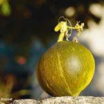 Courge olive, ronde et verte (gros plan)