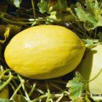 Melon Jaune canari, courge jaune en forme de citron