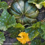 Musquée de Provence, grosse courge verte entre les feuilles