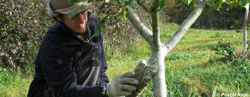 Le jardinier entrain de badigeonner son arbre fruitier à l'aide d'une brosse