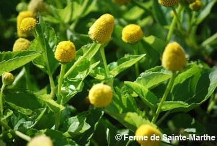 Fleurs de Brède mafane