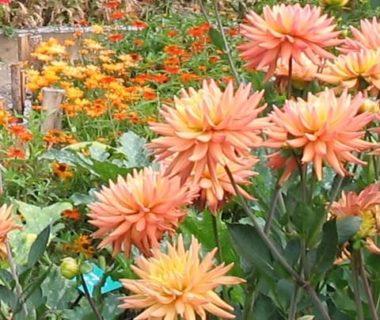 Fleurs de dahlias roses