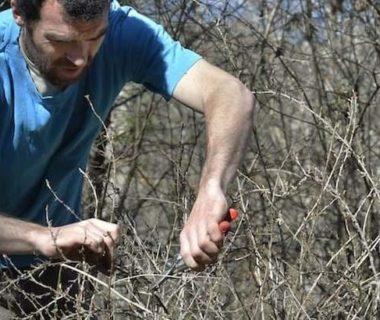 Le jardinier taille ses petits fruits au sécateur
