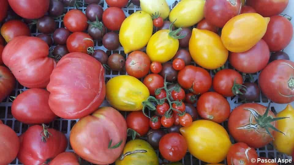 Plusieurs variétés de tomates