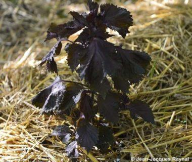 Un plant de périlla seul sur du paillage
