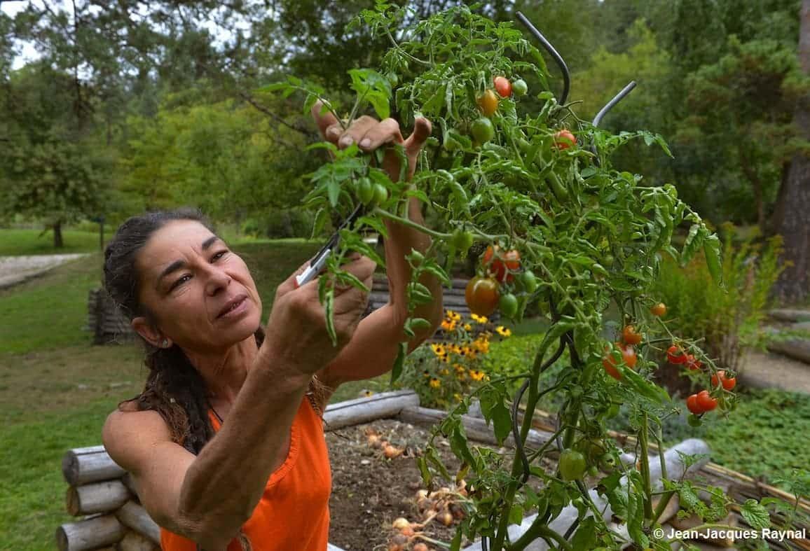 La jardinière taille le haut de ses tomates