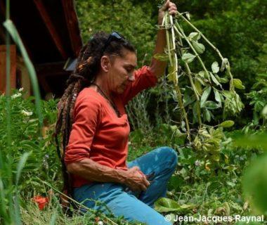 La jardinière récolte ses fèves, laissant en terre les racines