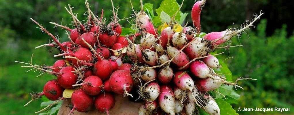 Un bouquet de radis du jardin