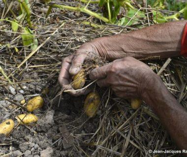 Les mains dans les pommes de terre