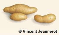 Illustration de trois pommes de terre