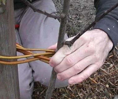 Deux mains entrain de tuteurer un arbre avec un lien végétal