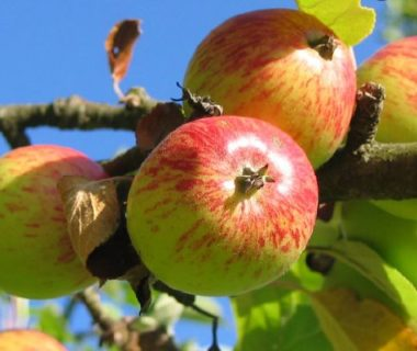 Pommes saines sur un pommier