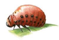 Dessin d'une larve de doryphore