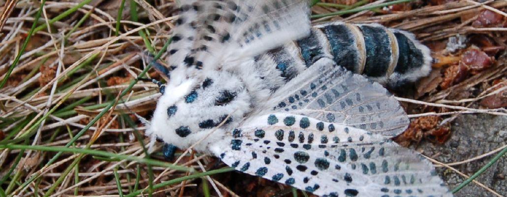 Zeuzère : photo du papillon