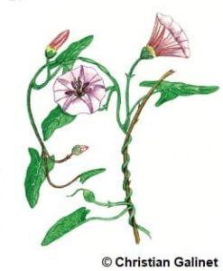 Dessin d'un liseron à fleurs blanches striées de rose