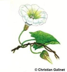 Dessin d'un liseron à fleur blanche
