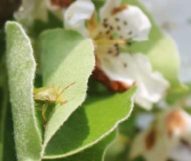 Punaise verte sur une feuille