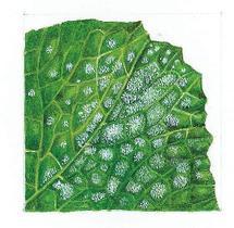 Oïdium sur une feuille de courgette