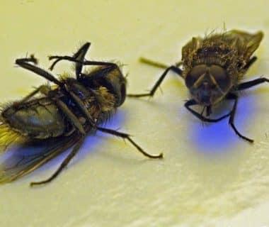 Deux cadavres de mouches