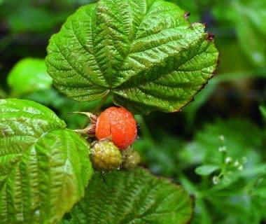 Forêt-jardin : la strate arbustive basse