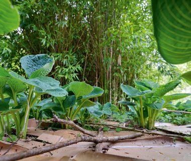 Forêt-jardin : la strate des herbacées vivaces