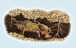 Dessin d'une courtilière qui creuse une galerie en coupant les racines