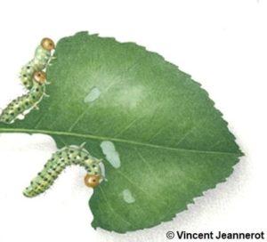 Dessin de trois tenthrèdes qui mangent une feuille