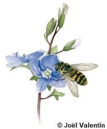 Dessin d'un syrphe qui butine une fleur bleue