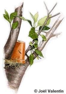 Dessin d'un pot de fleurs rempli de paille, retourné sur un arbre