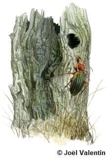 Dessin d'un carabe sur un tronc