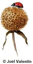 Dessin d'une coccinelle sur une fleur