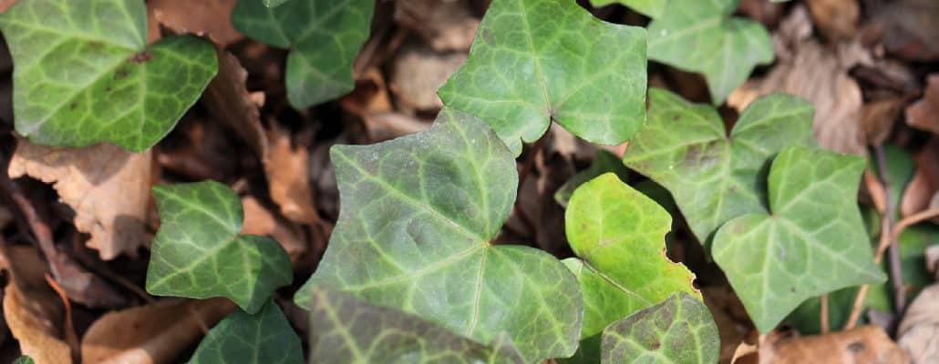 Le lierre, une plante sauvage persistante