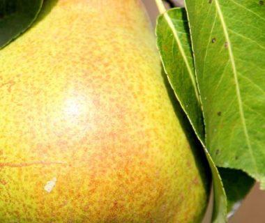 Photo d'une poire sur une branche