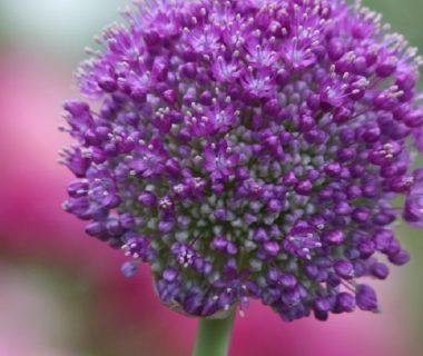 Fleur de l'oignon