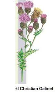 Dessin d'un chardon en fleurs
