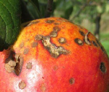 Pommier atteint d'une maladie cryptogamique
