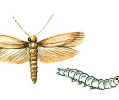 Dessin de la mite des vêtements dans ses deux aspects (larve et papillon)