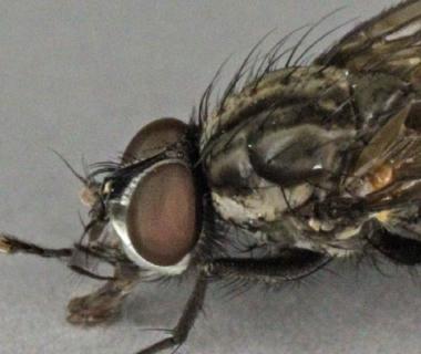 Photo de la mouche du chou