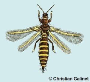 Dessin d'un thips adulte avec deux paires d'ailes