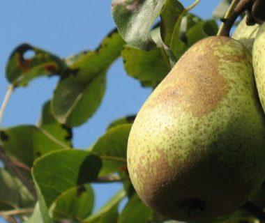 Poirier en fruits
